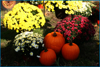 Tulmeadow Mums and Pumpkins